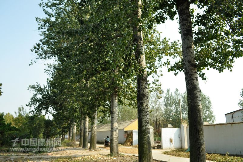 美丽木石:13棵50龄白杨树