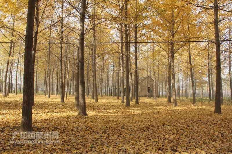 南池银杏林风景