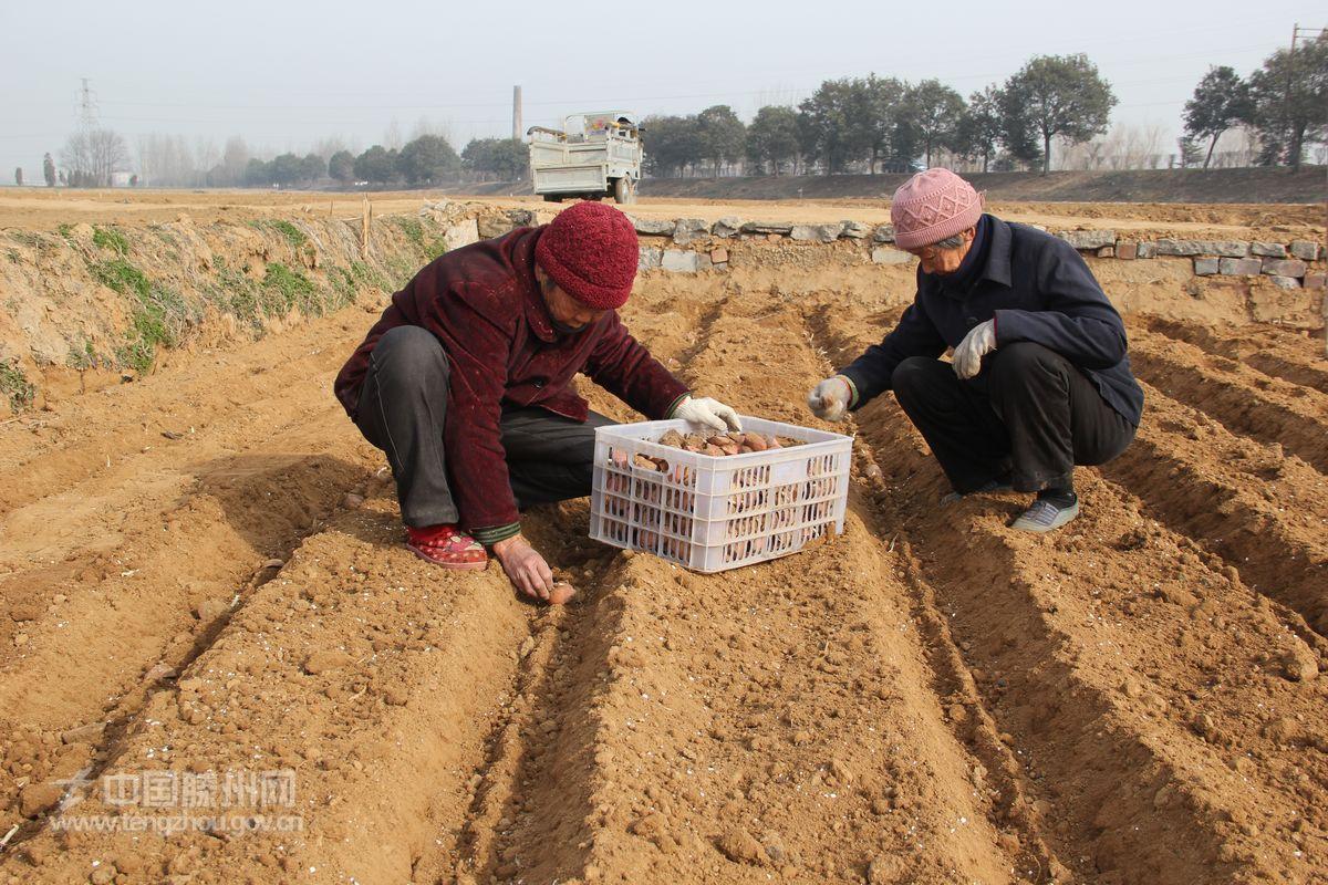 土豆种植步骤图解